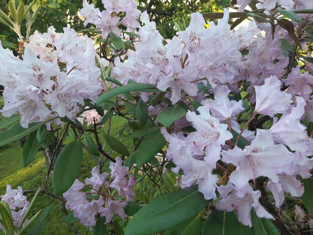 Rododendron. Foto: Urve Vilk